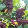 果穗自然 运输发货快 鲜食巨峰葡萄 批发好价
