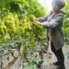 阳光玫瑰葡萄苗 果粒着生紧密 可教技术葡萄苗 培育基地发货