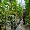 阳光玫瑰葡萄苗 山东葡萄 可教技术葡萄苗 批发零售