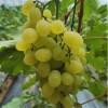 口感好 套袋葡萄 温室种植葡萄 大量上市