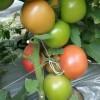 常年出售西红柿种苗品种纯正 西红柿种苗长势好产量高 批发好价