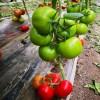 抗死棵大果西红柿种苗大量有货 温室种植番茄种苗量大价优