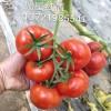 常年销售大果西红柿种苗口感好 抗TY  抗死棵番茄种苗