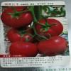 寿光西红柿种苗批发商 田骏农业  西红柿种苗育苗基地优惠多多