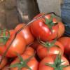 山东番茄种苗口感好 批发西红柿种苗 价格实惠 期待来电