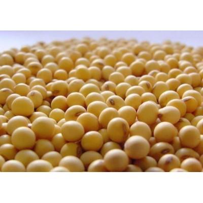 河南大豆  非转基因大豆 高产黄豆 精挑细选大豆 颗粒饱满 价格合理